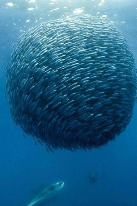 Mackerel-Ball